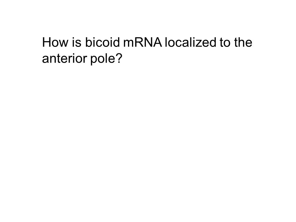 How is bicoid mRNA localized to the anterior pole