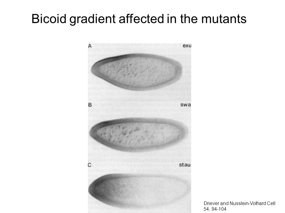 Bicoid gradient affected in the mutants Driever and Nusslein-Volhard Cell 54, 94-104