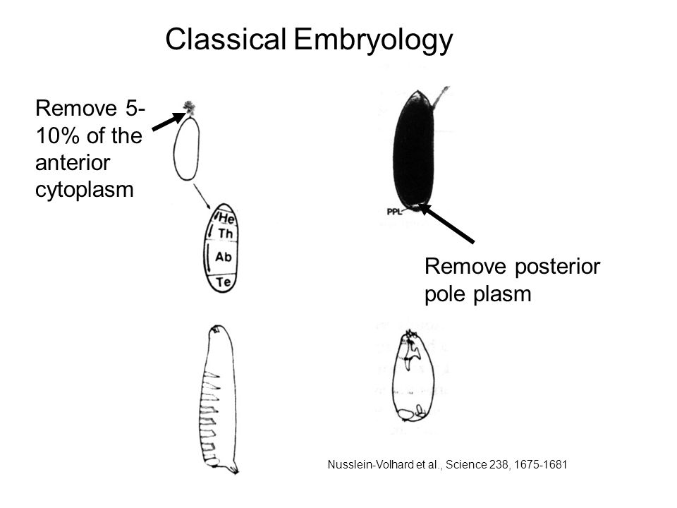 Remove posterior pole plasm Classical Embryology Remove 5- 10% of the anterior cytoplasm Nusslein-Volhard et al., Science 238,