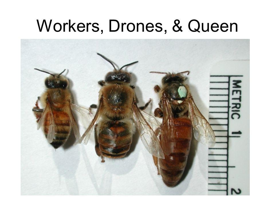 Workers, Drones, & Queen