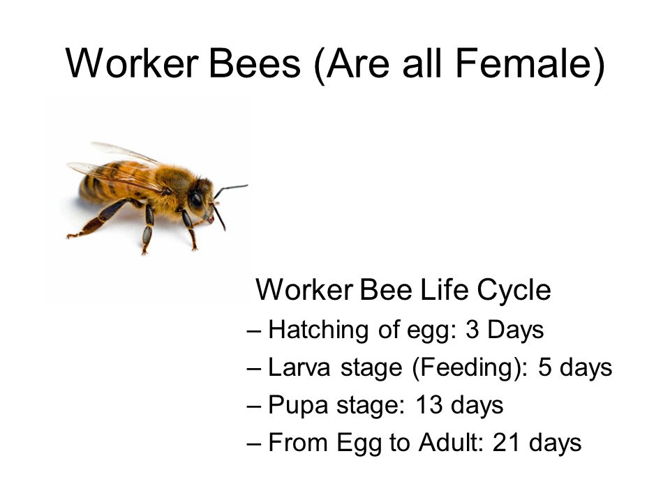 Worker Bees (Are all Female) Worker Bee Life Cycle –Hatching of egg: 3 Days –Larva stage (Feeding): 5 days –Pupa stage: 13 days –From Egg to Adult: 21 days