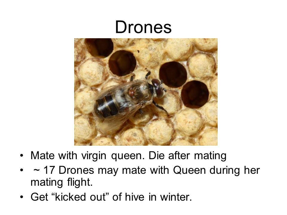 "Drones Mate with virgin queen. Die after mating ~ 17 Drones may mate with Queen during her mating flight. Get ""kicked out"" of hive in winter."