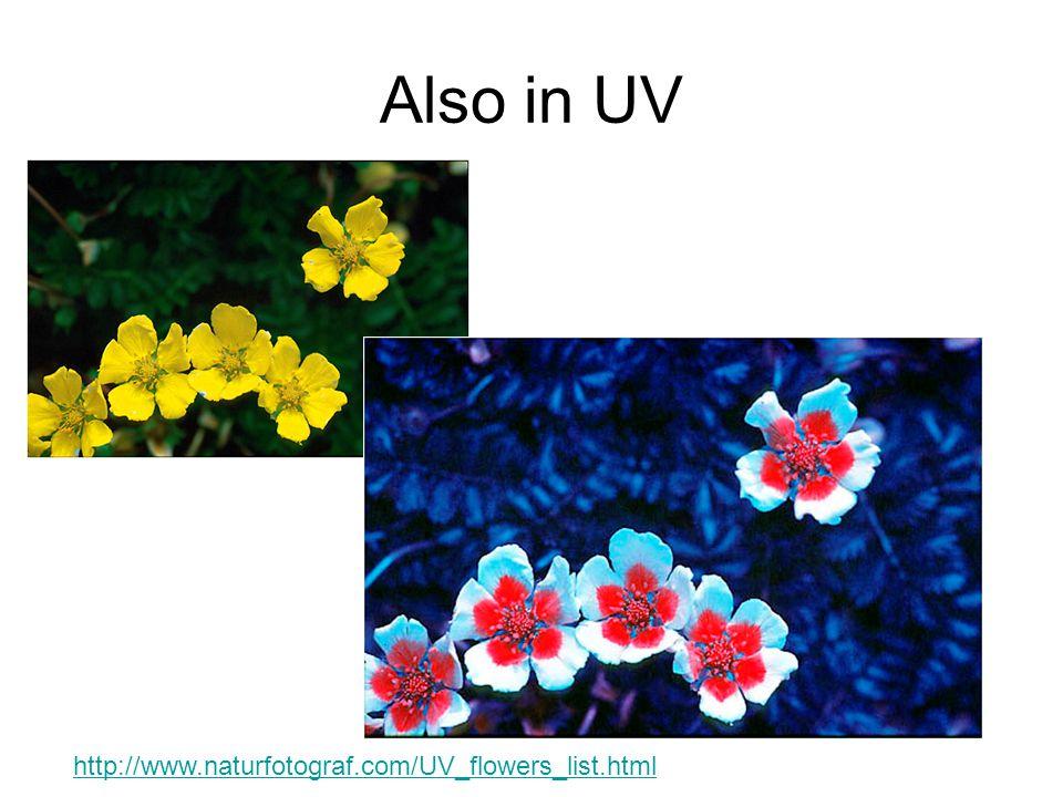 Also in UV http://www.naturfotograf.com/UV_flowers_list.html