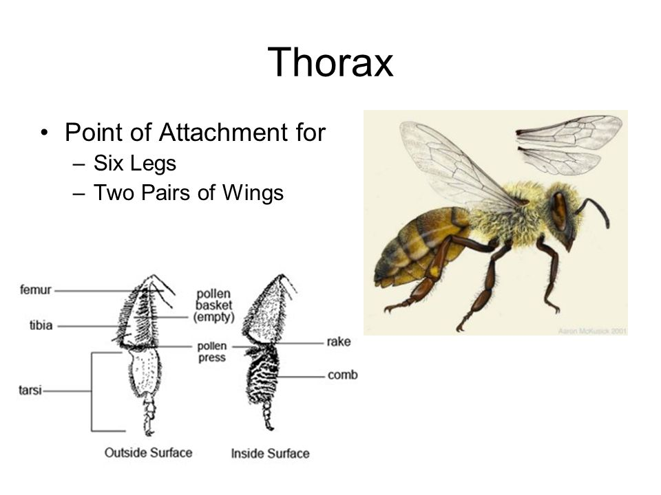 Thorax Point of Attachment for –Six Legs –Two Pairs of Wings