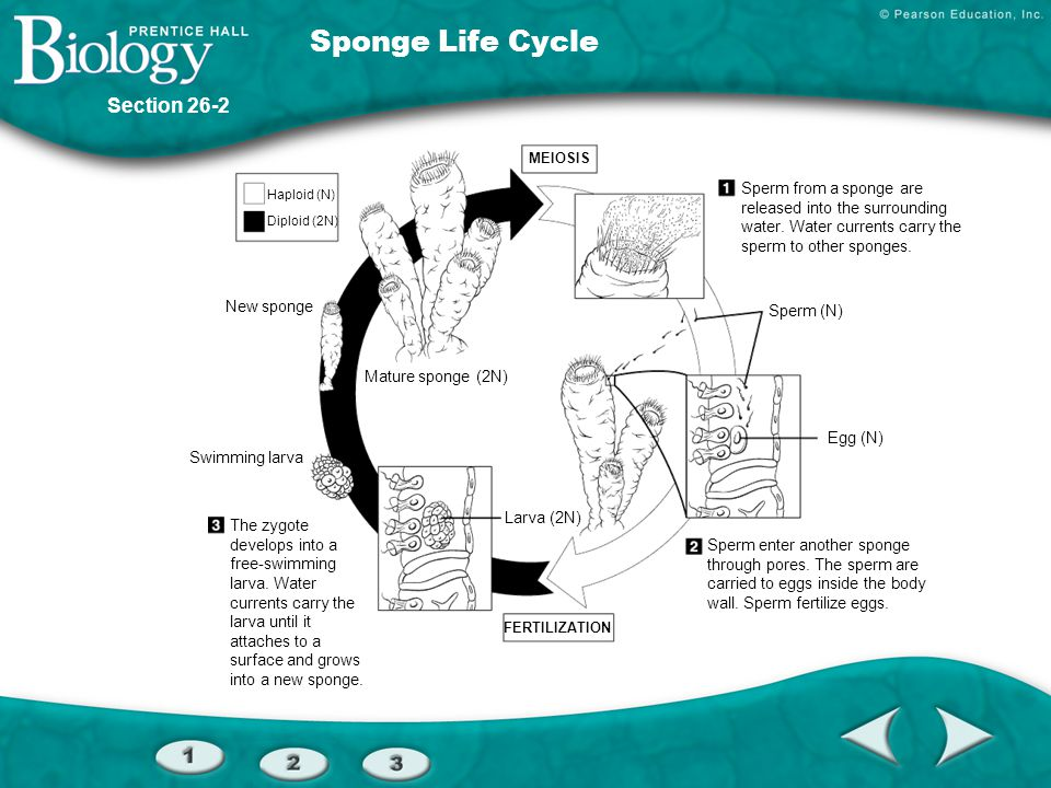 Section 26-2 Water flow Choanocyte Spicule Pore cell Pore Epidermal cell Archaeocyte Osculum Central cavity Pores Figure 26–8 The Anatomy of a Sponge
