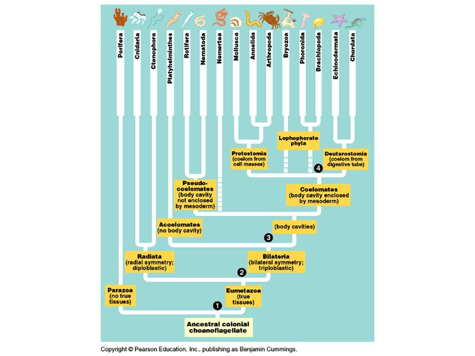 Four evolutionary arthropod lineages a.Trilobites – extinct b.