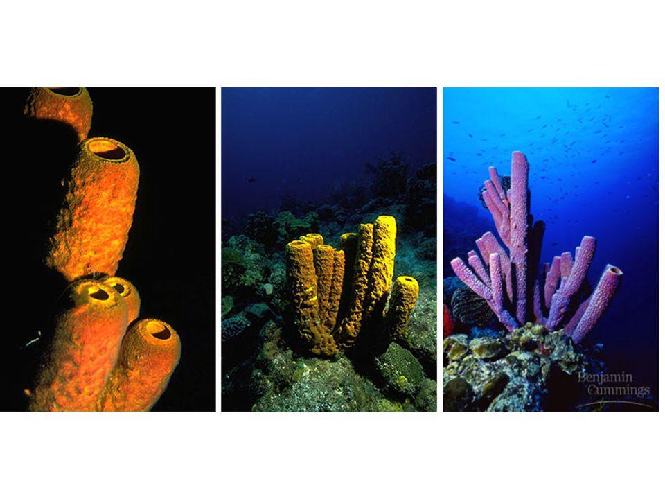 Parazoa Phylum Porifera: Sponges 1.Non-moving (sessile) animals 2.