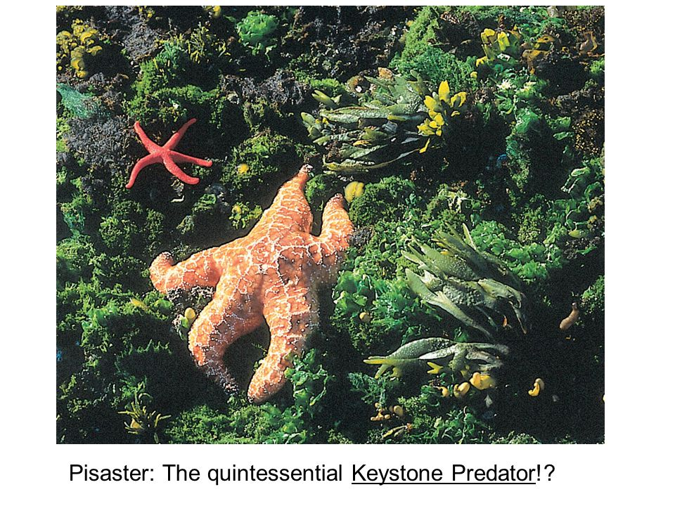 Pisaster: The quintessential Keystone Predator!