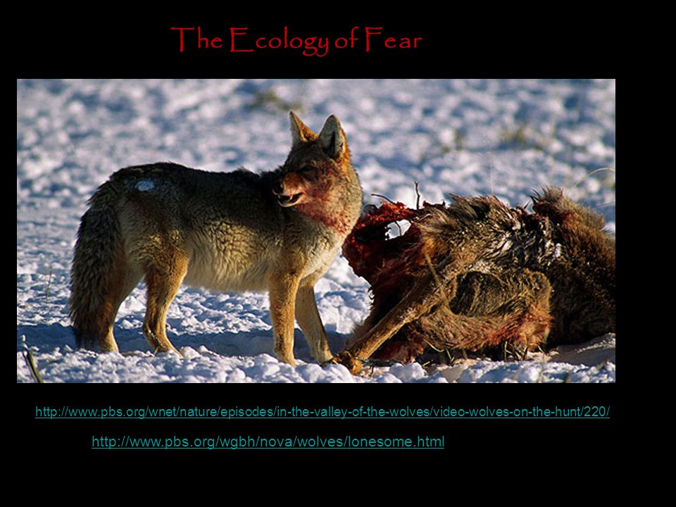 http://www.pbs.org/wgbh/nova/wolves/lonesome.html The Ecology of Fear http://www.pbs.org/wnet/nature/episodes/in-the-valley-of-the-wolves/video-wolves-on-the-hunt/220/