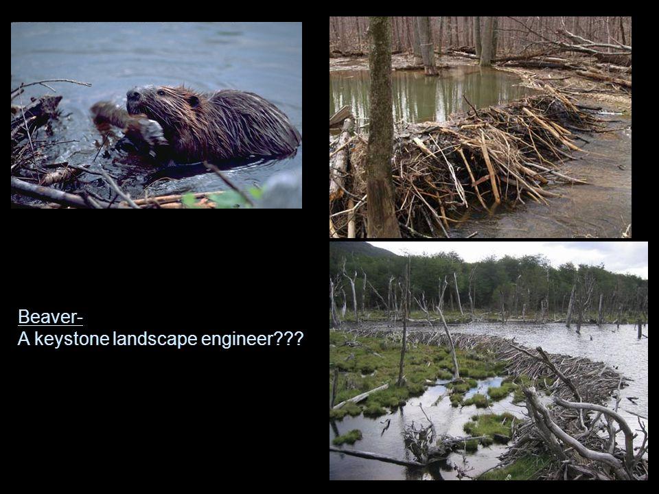 Beaver- A keystone landscape engineer