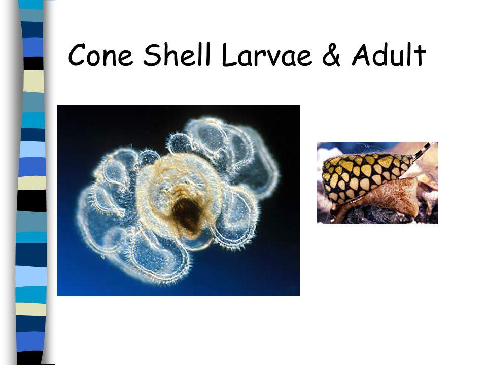 Brittle Star Larvae & Adult