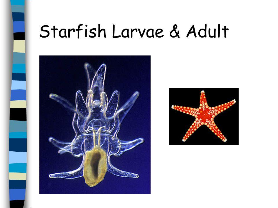 Octopus Larvae & Adult