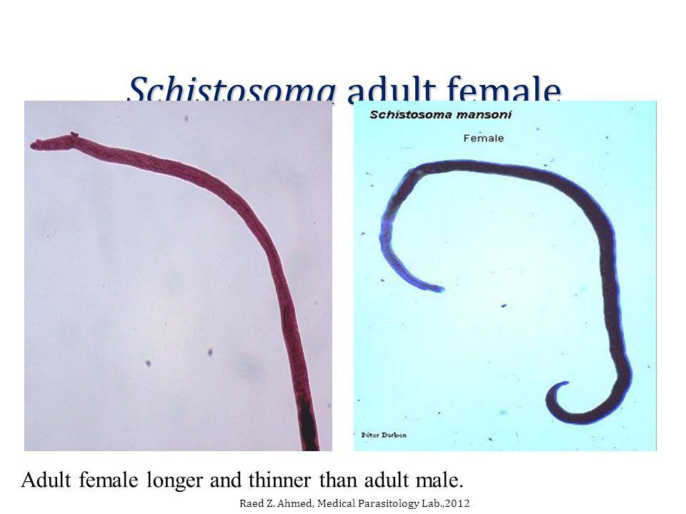 Schistosoma adult female Raed Z.