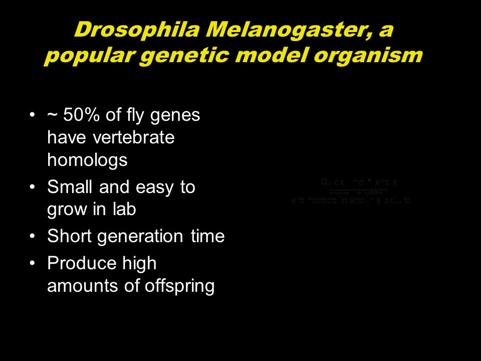 Drosophila Melanogaster is used to study the biological processes underlying: Embryonic development Neurodegenerative disorders Diabetes Aging Drug abuse Cancer