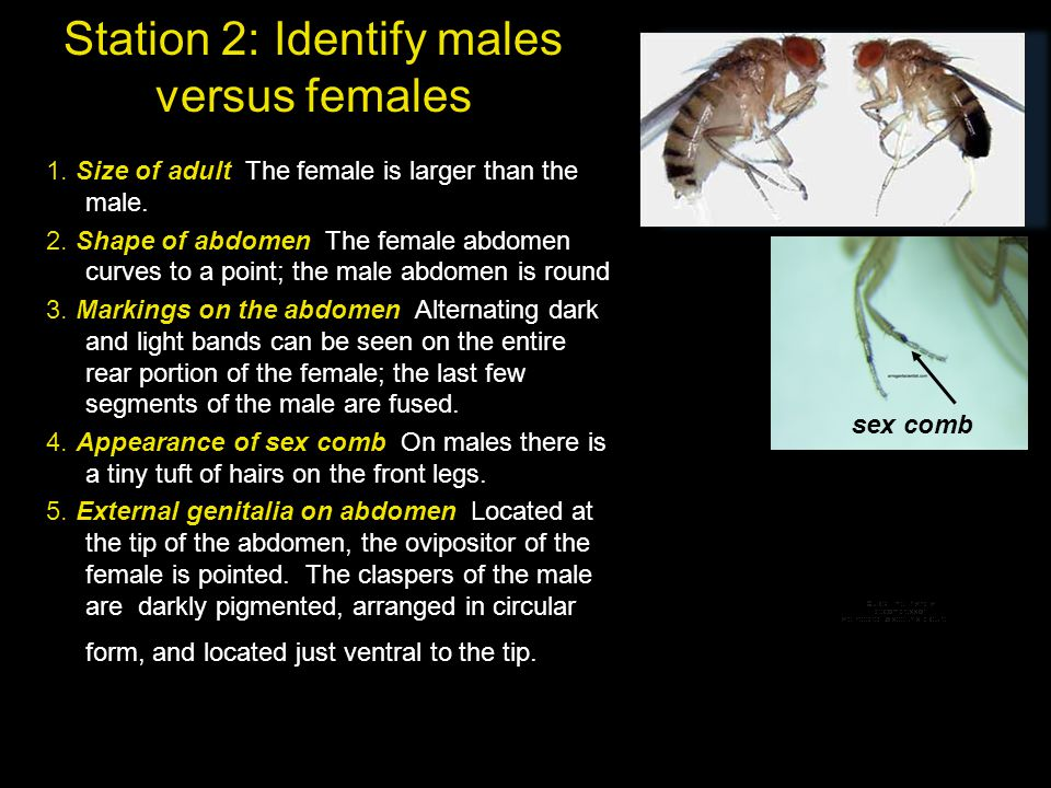 Station 2: Identify males versus females 1. Size of adult The female is larger than the male. 2. Shape of abdomen The female abdomen curves to a point