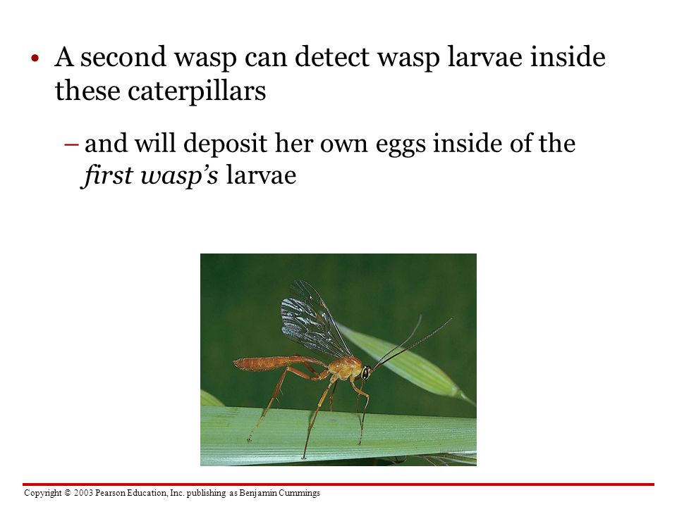 Copyright © 2003 Pearson Education, Inc. publishing as Benjamin Cummings A second wasp can detect wasp larvae inside these caterpillars –and will depo