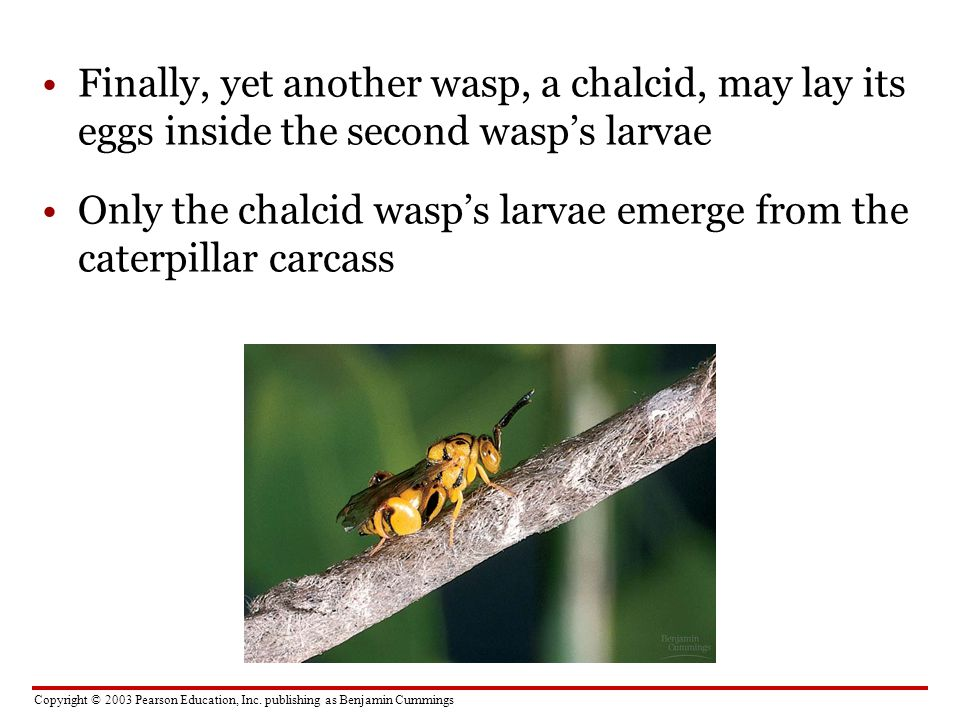 Copyright © 2003 Pearson Education, Inc. publishing as Benjamin Cummings Finally, yet another wasp, a chalcid, may lay its eggs inside the second wasp