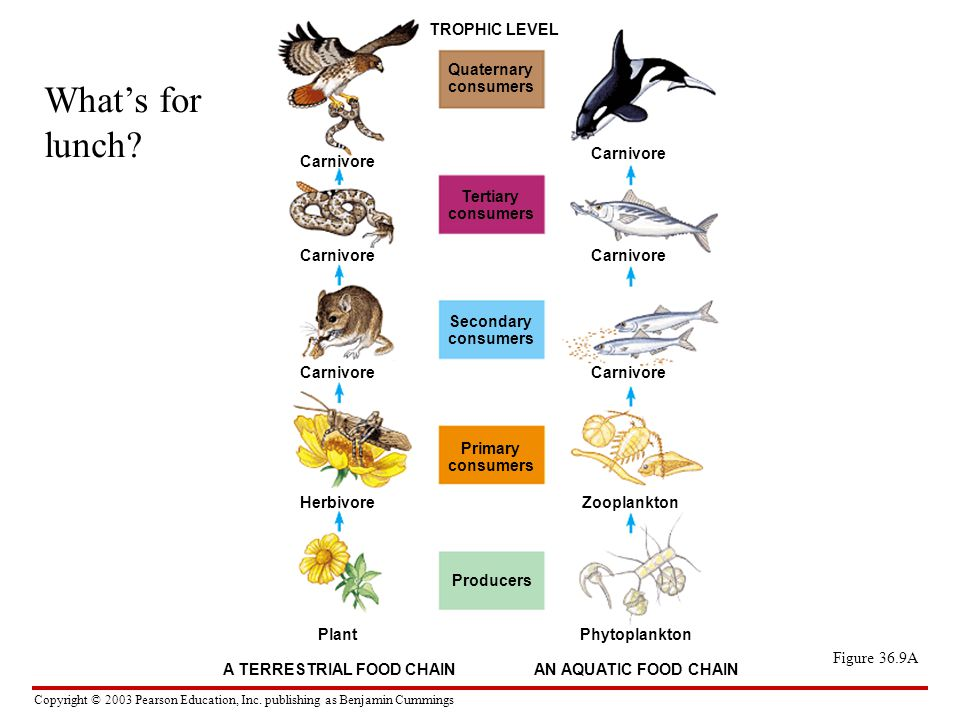 Copyright © 2003 Pearson Education, Inc. publishing as Benjamin Cummings Figure 36.9A TROPHIC LEVEL Quaternary consumers Tertiary consumers Carnivore