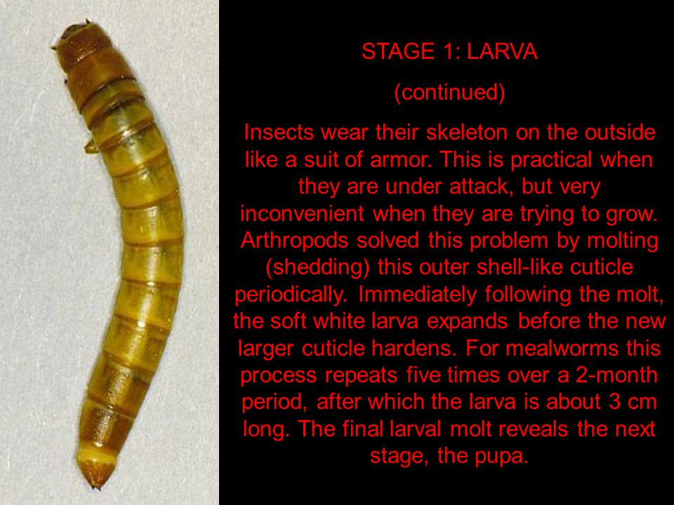 STAGE 1: LARVA (continued) Insects wear their skeleton on the outside like a suit of armor.