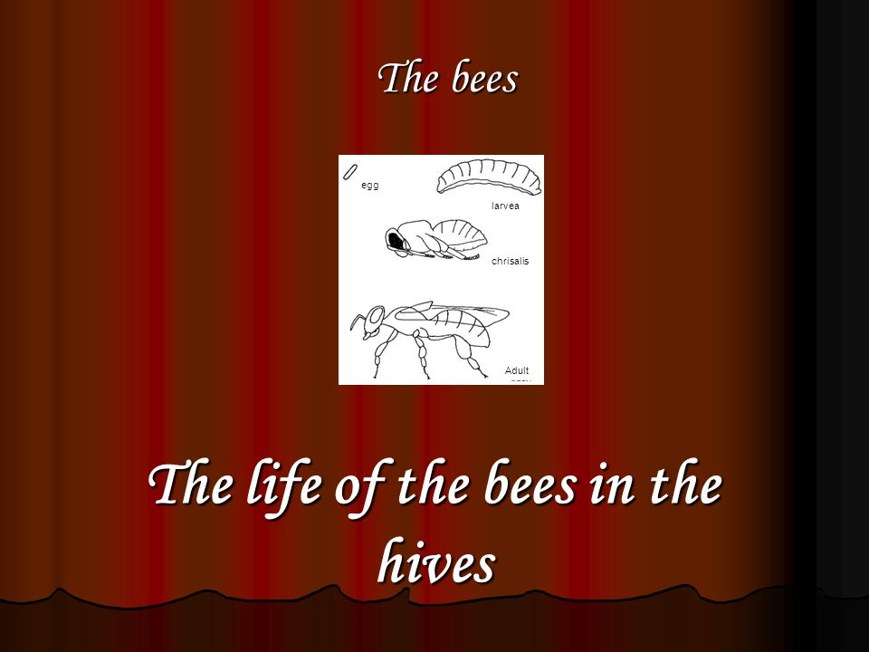 The life of the bees in the hives egg larvea chrisalis The bees Adult