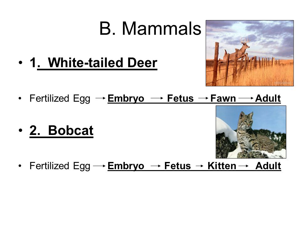 B. Mammals 1. White-tailed Deer Fertilized Egg Embryo Fetus Fawn Adult 2.