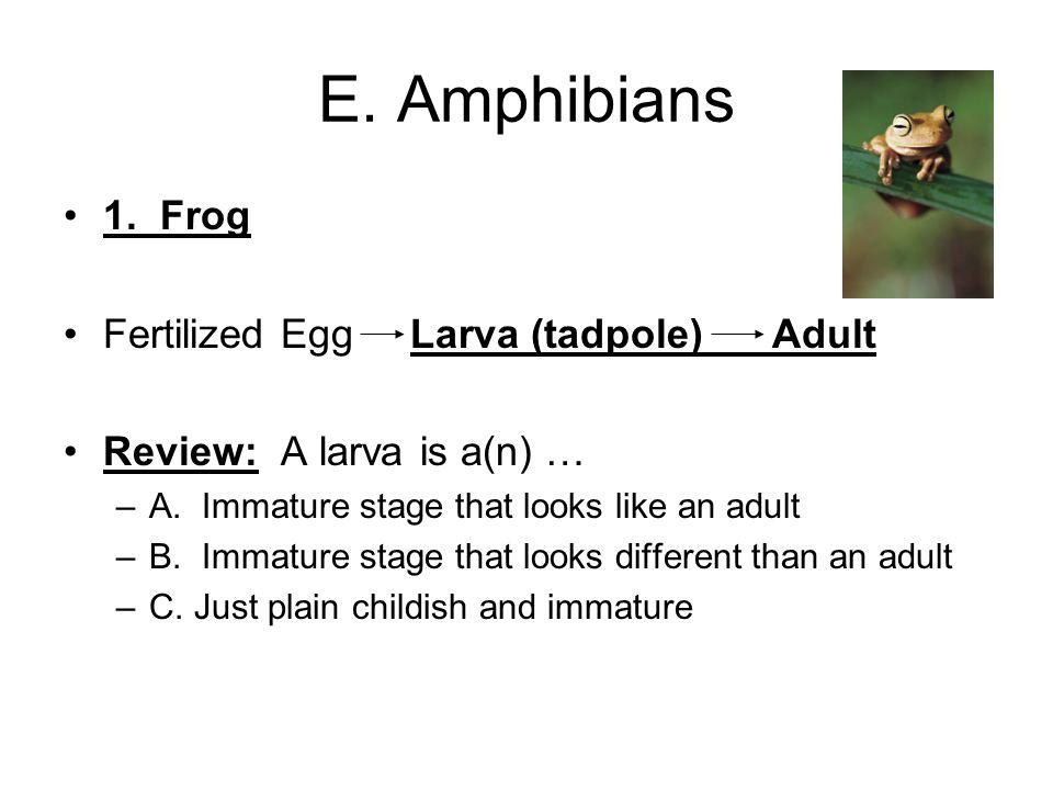 E. Amphibians 1. Frog Fertilized Egg Larva (tadpole) Adult Review: A larva is a(n) … –A.