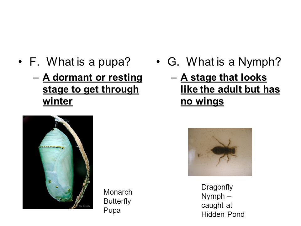 F. What is a pupa. –A dormant or resting stage to get through winter G.