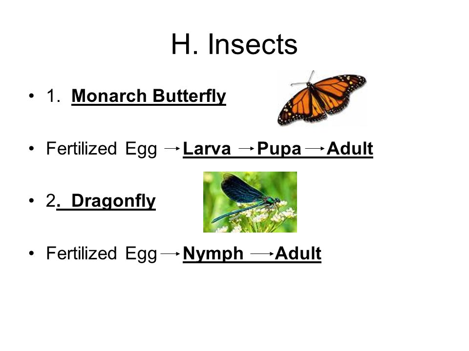 H. Insects 1. Monarch Butterfly Fertilized Egg Larva Pupa Adult 2.