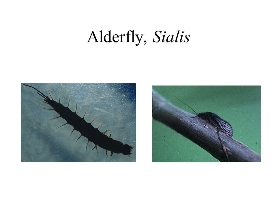 Alderfly, Sialis