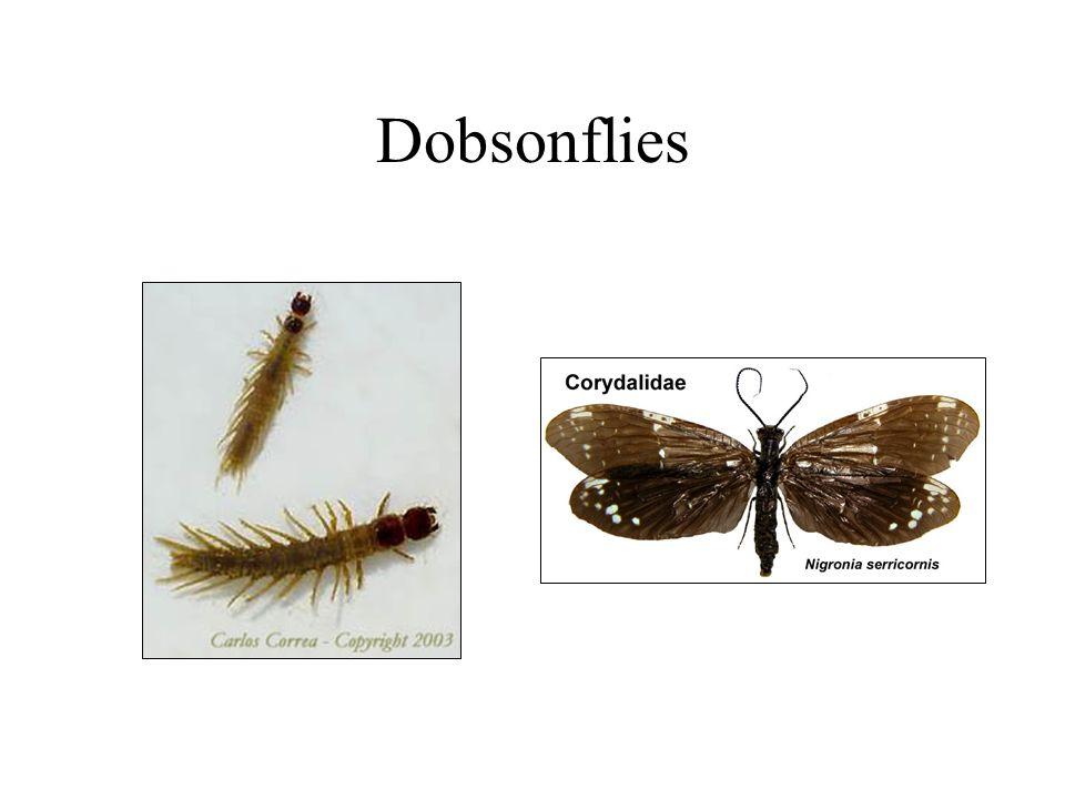 Dobsonflies
