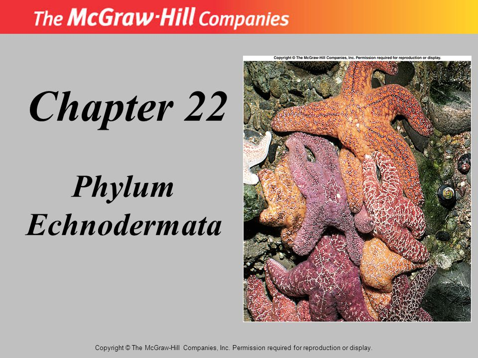 Copyright © The McGraw-Hill Companies, Inc. Permission required for reproduction or display. Chapter 22 Phylum Echnodermata