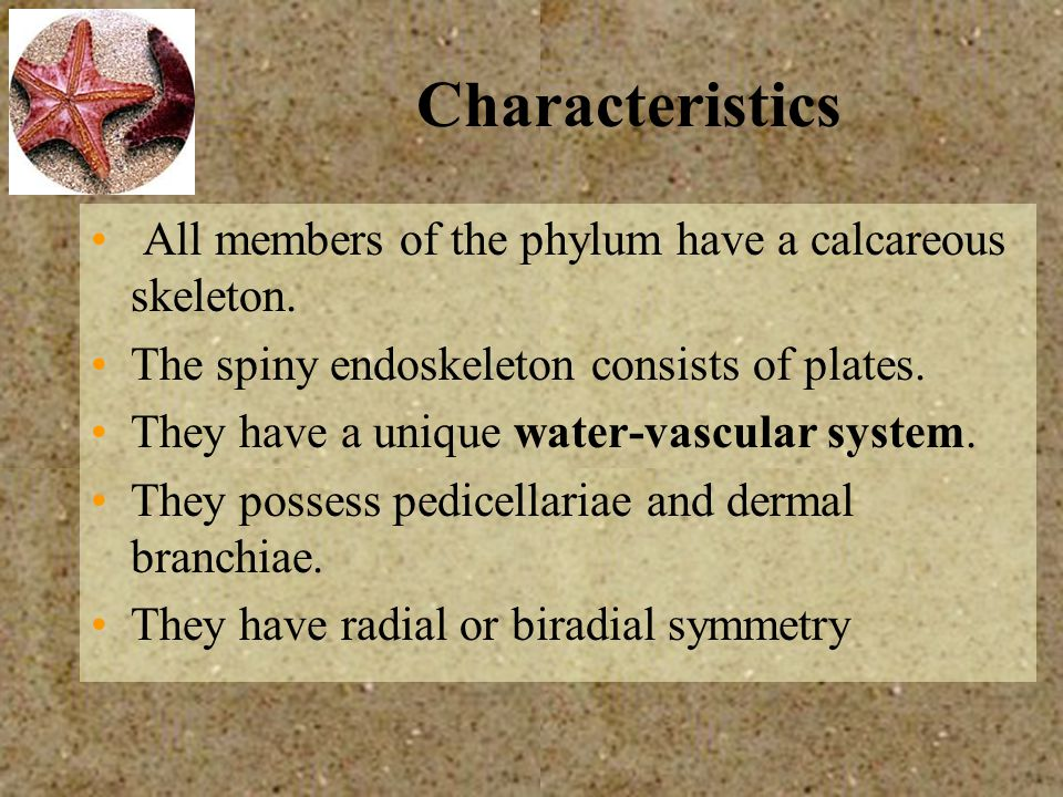 Characteristics All members of the phylum have a calcareous skeleton. The spiny endoskeleton consists of plates. They have a unique water-vascular sys