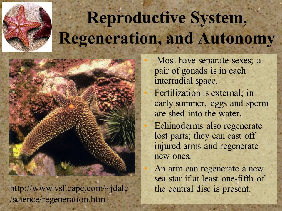 Reproductive System, Regeneration, and Autonomy Most have separate sexes; a pair of gonads is in each interradial space. Fertilization is external; in