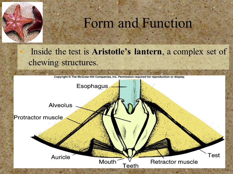 Form and Function Inside the test is Aristotle's lantern, a complex set of chewing structures.