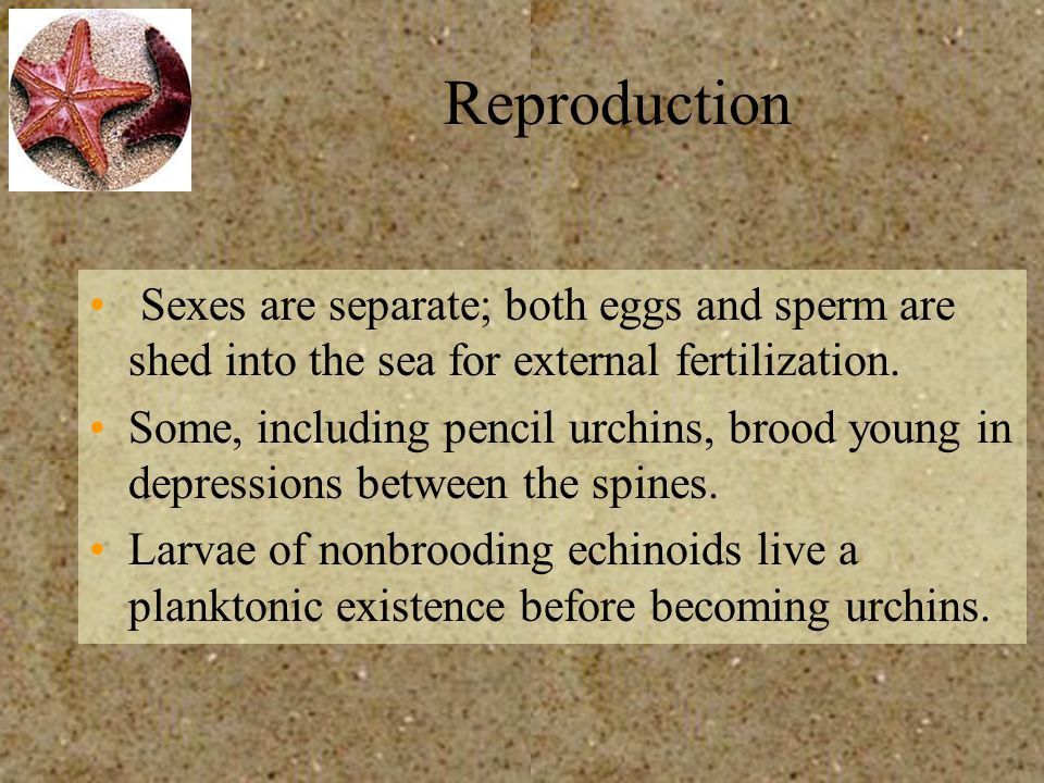 Reproduction Sexes are separate; both eggs and sperm are shed into the sea for external fertilization. Some, including pencil urchins, brood young in