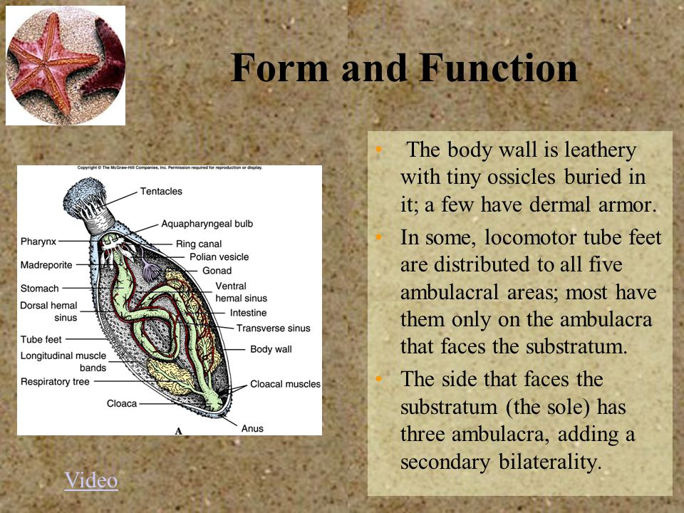 Form and Function The body wall is leathery with tiny ossicles buried in it; a few have dermal armor. In some, locomotor tube feet are distributed to