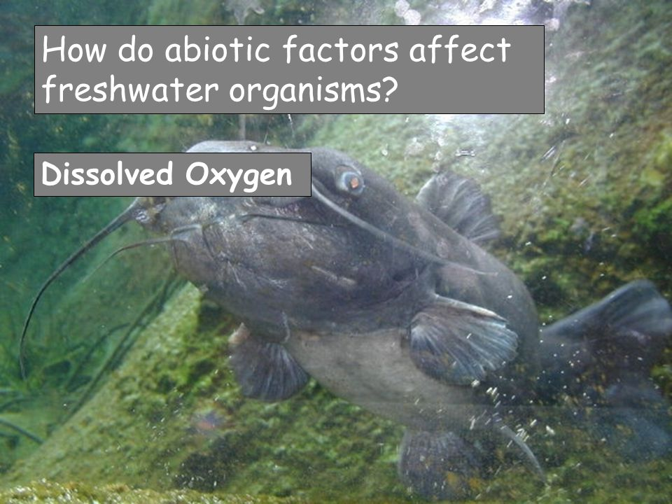 How do abiotic factors affect freshwater organisms? Dissolved Oxygen