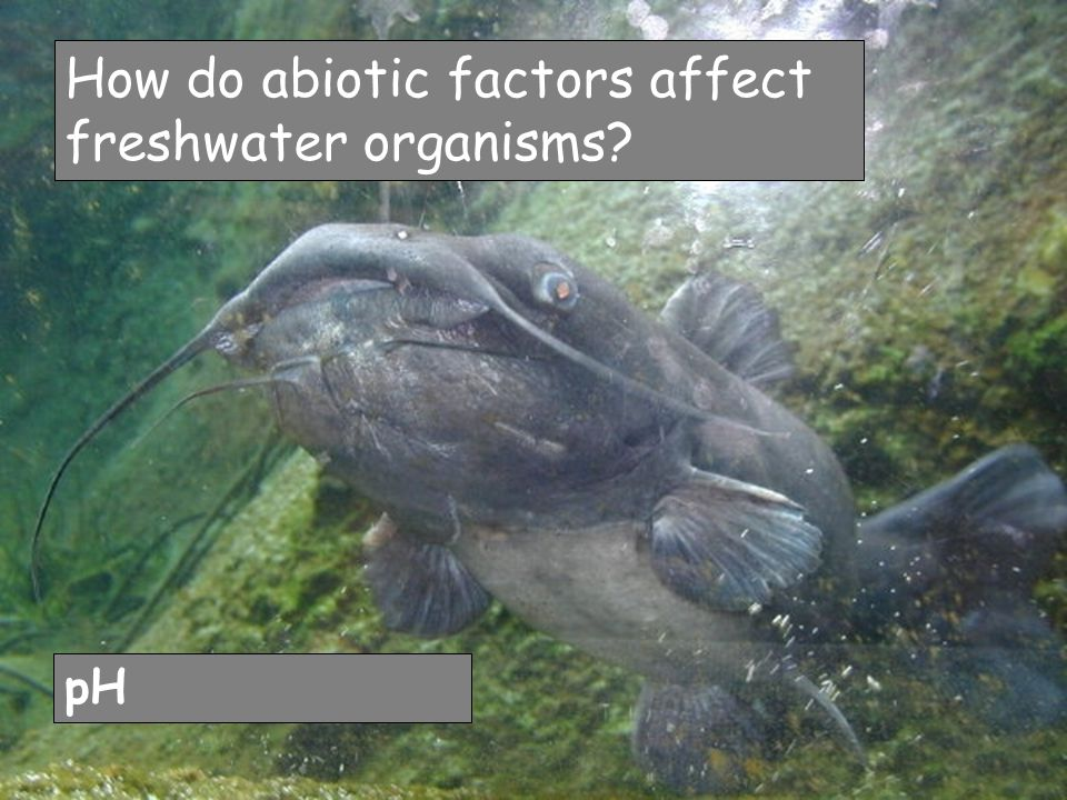 How do abiotic factors affect freshwater organisms pH