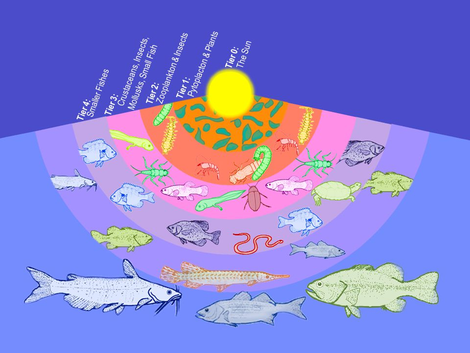Tier 1: Pytoplacton & Plants Tier 0: The Sun Tier 2: Zooplankton & Insects Tier 3: Crustaceans, Insects, Mollusks, Small Fish Tier 4: Smaller Fishes
