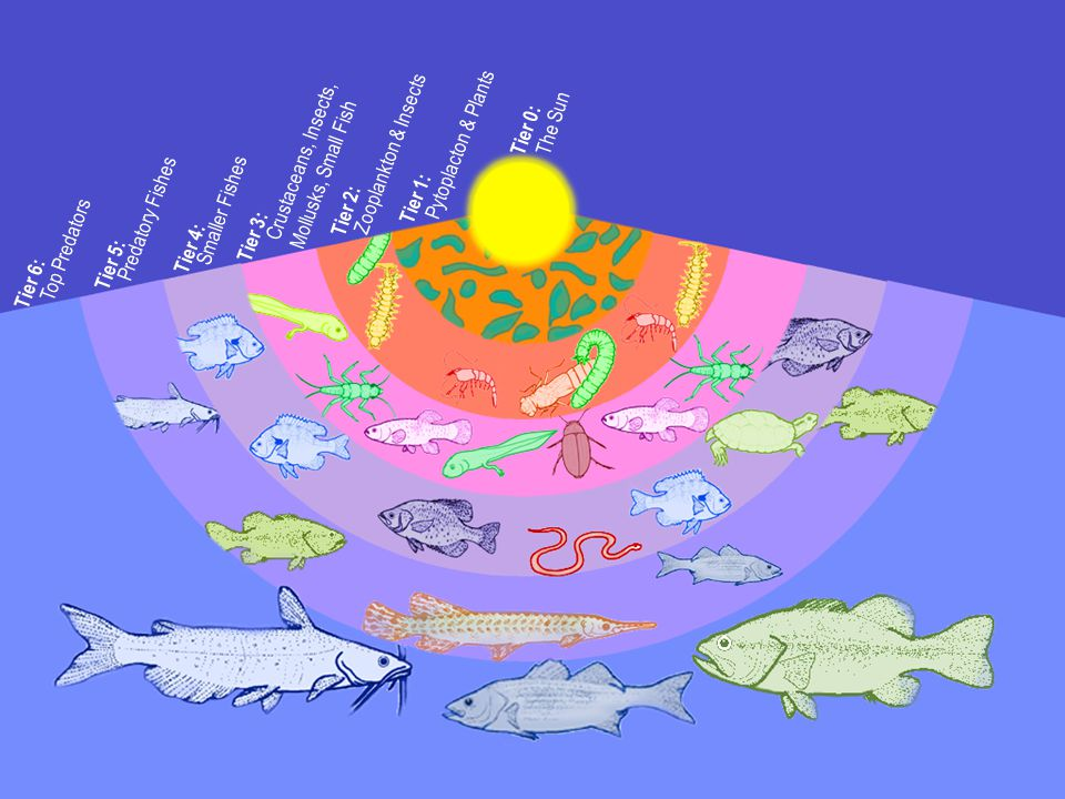 Tier 1: Pytoplacton & Plants Tier 0: The Sun Tier 2: Zooplankton & Insects Tier 3: Crustaceans, Insects, Mollusks, Small Fish Tier 4: Smaller Fishes Tier 5: Predatory Fishes Tier 6: Top Predators