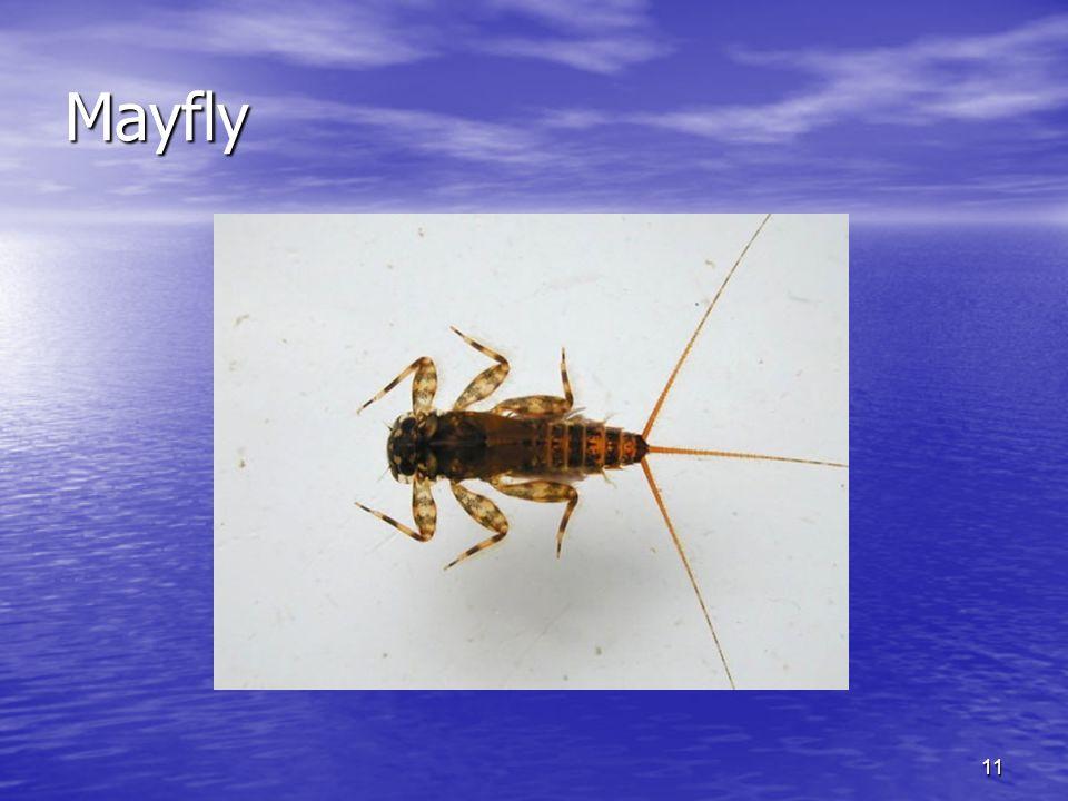 11 Mayfly