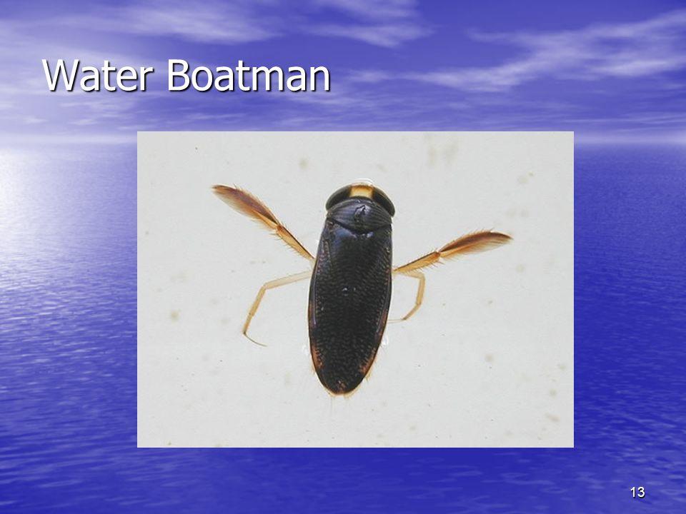 13 Water Boatman