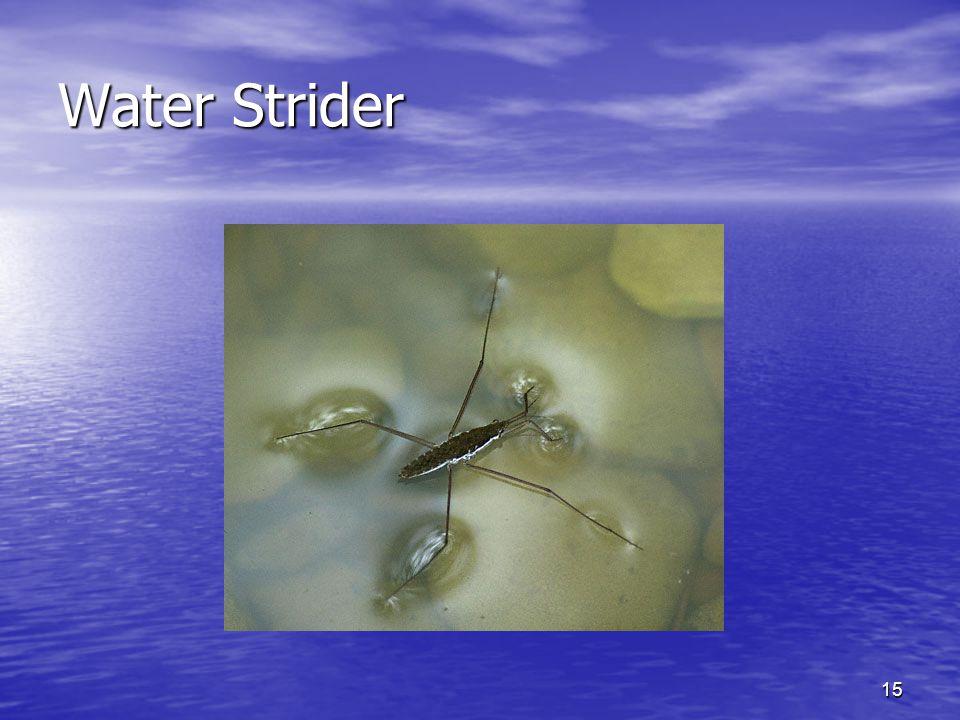 15 Water Strider