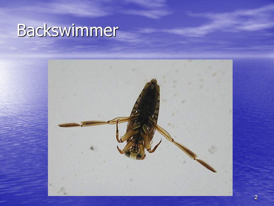 2 Backswimmer