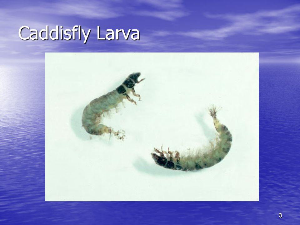 3 Caddisfly Larva