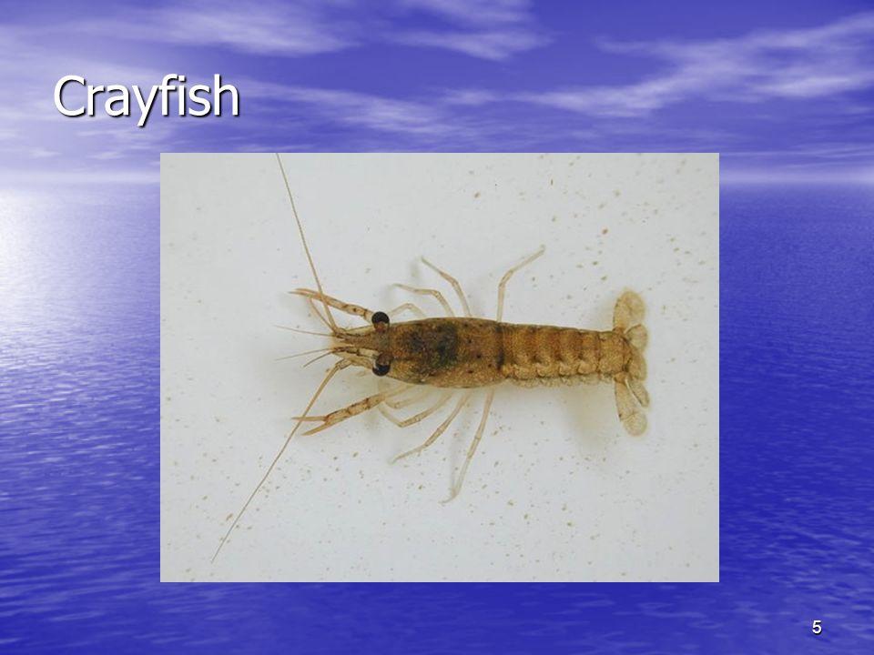 5 Crayfish