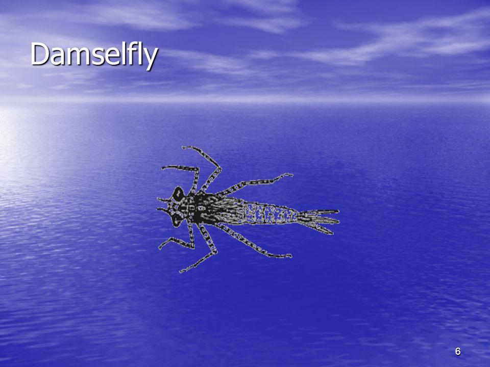 6 Damselfly