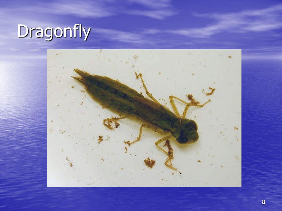 8 Dragonfly