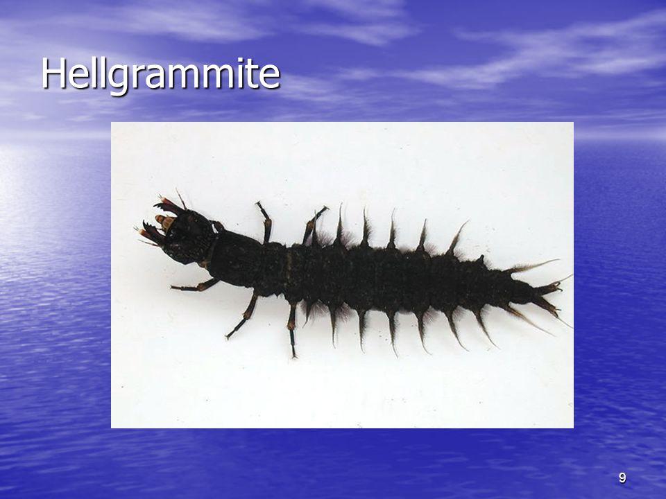 9 Hellgrammite