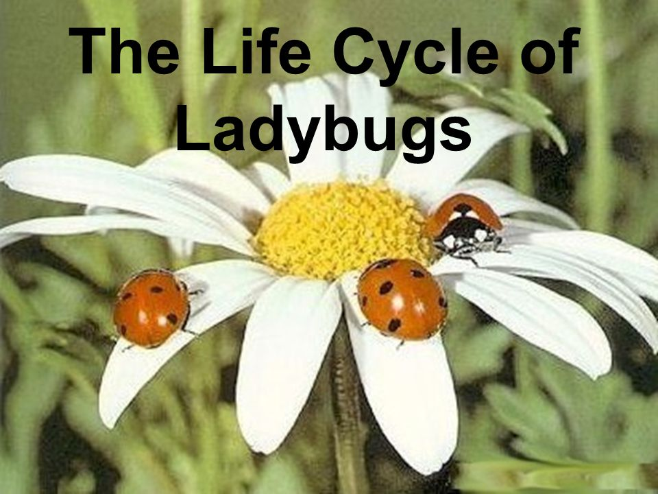 What are Ladybugs.